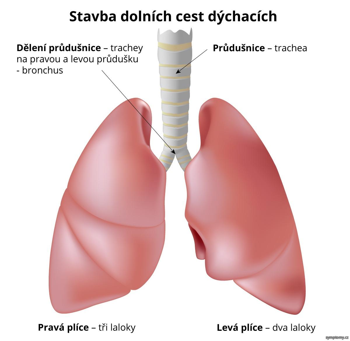 Stavba dolních cest dýchacích