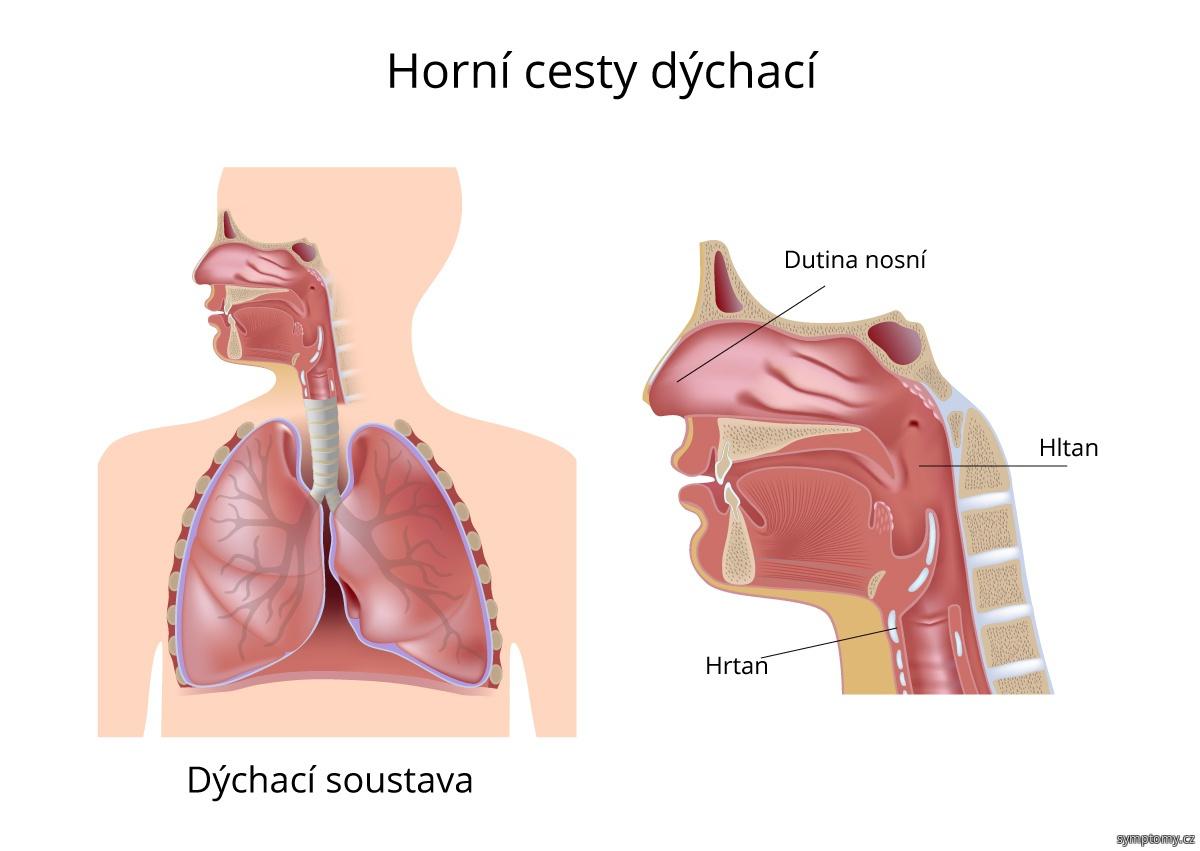 Horní cesty dýchací