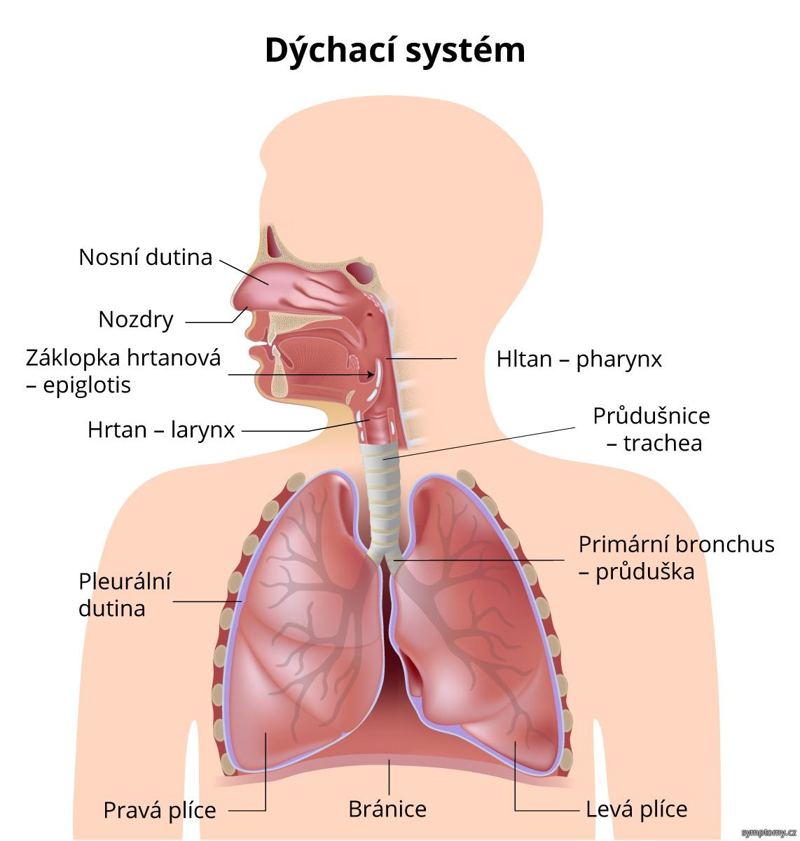 Stavba dýchací soustavy
