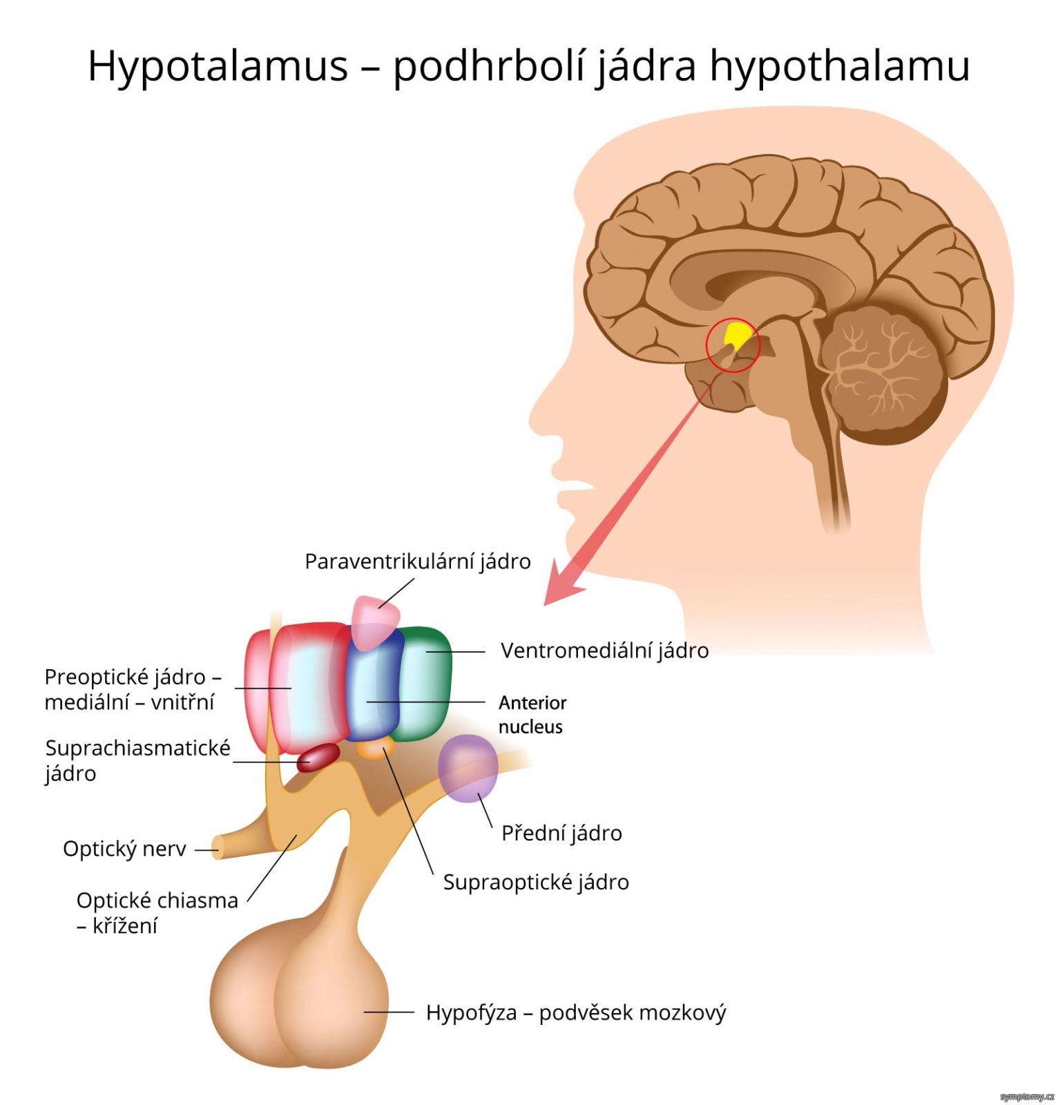 Hypotalamus – podhrbolí