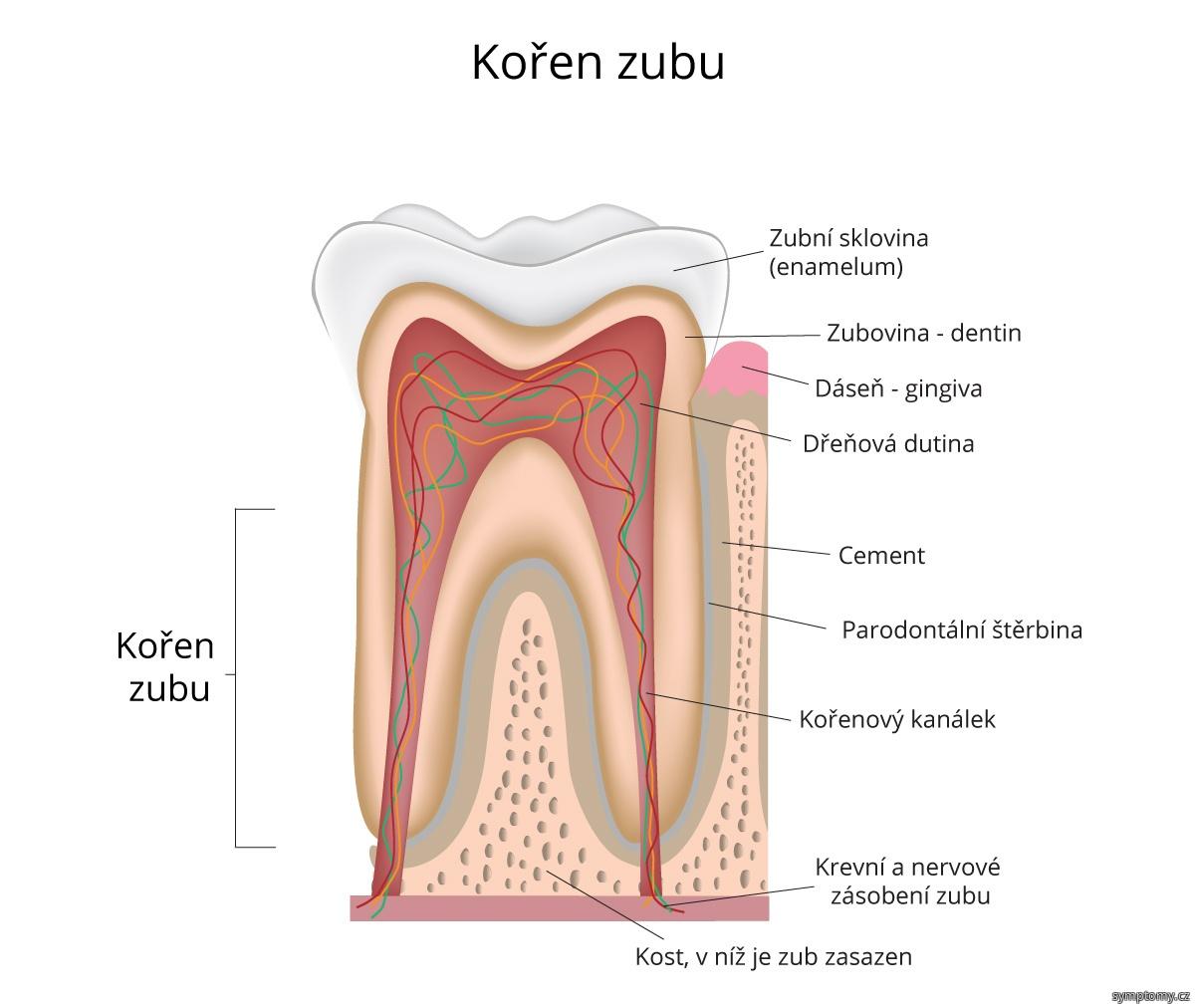 Kořen zubu