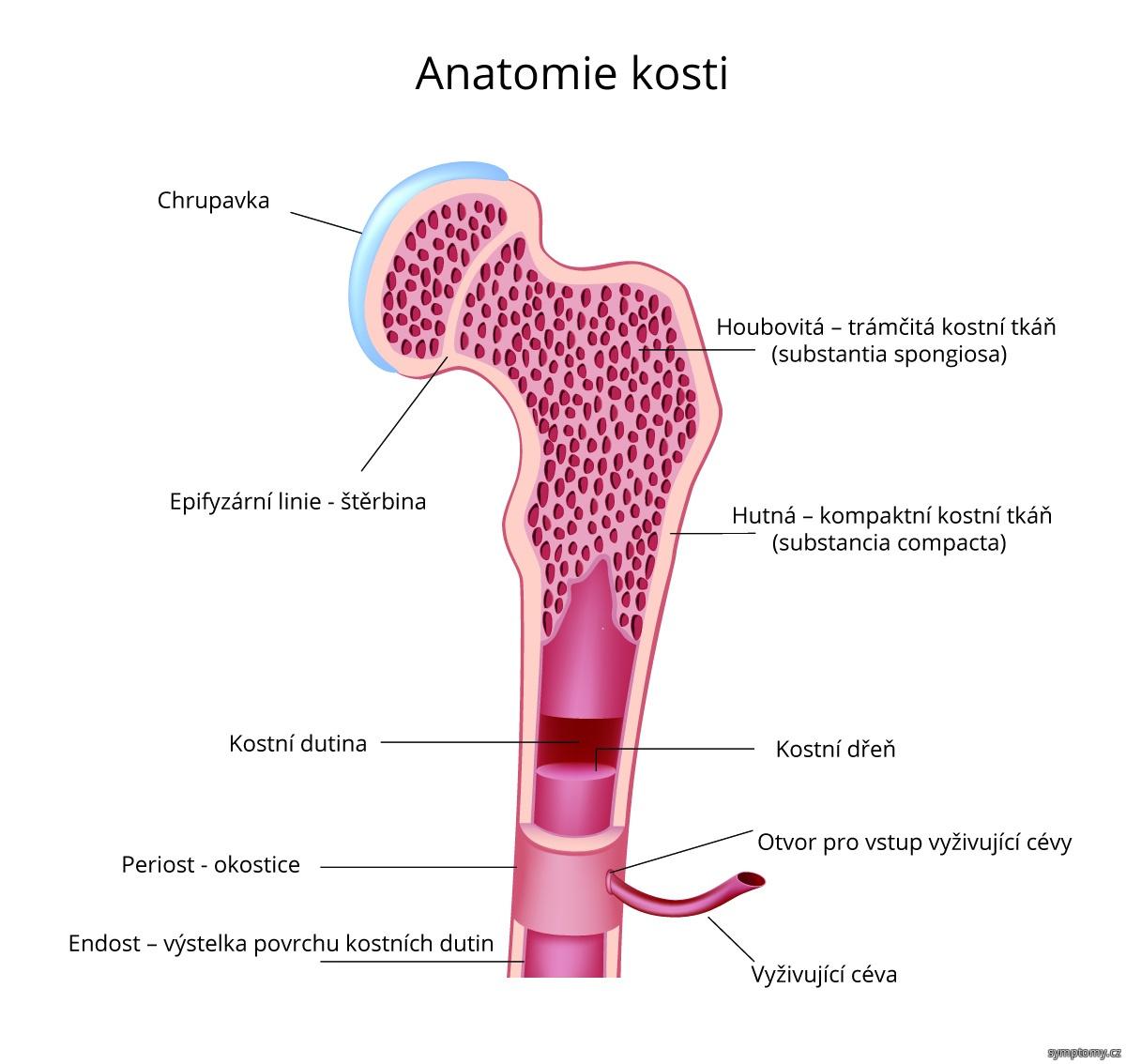 Anatomie kosti
