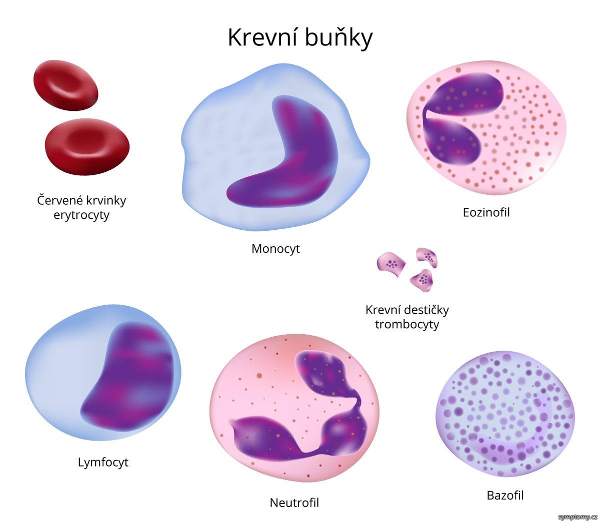 Krevní buňky - entrocity, monocyt, ezinofil, trombocyty, lymfocyt, neutrofil, bazofil