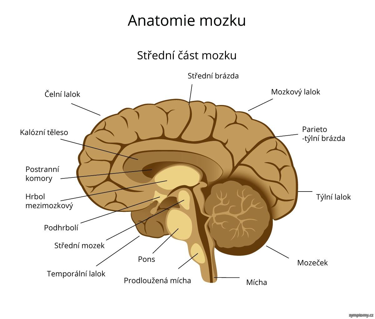 Anatomie mozku