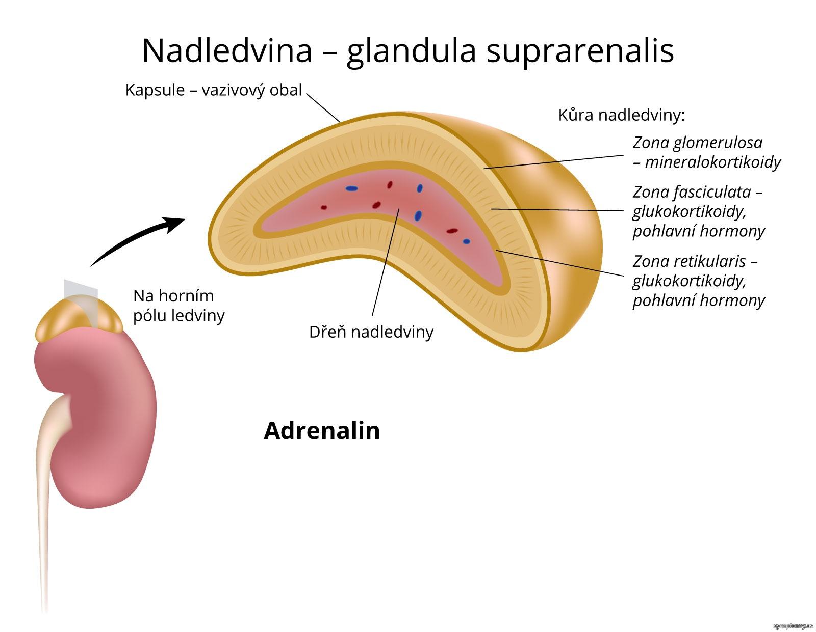 Nadledvina – glandula suprarenalis