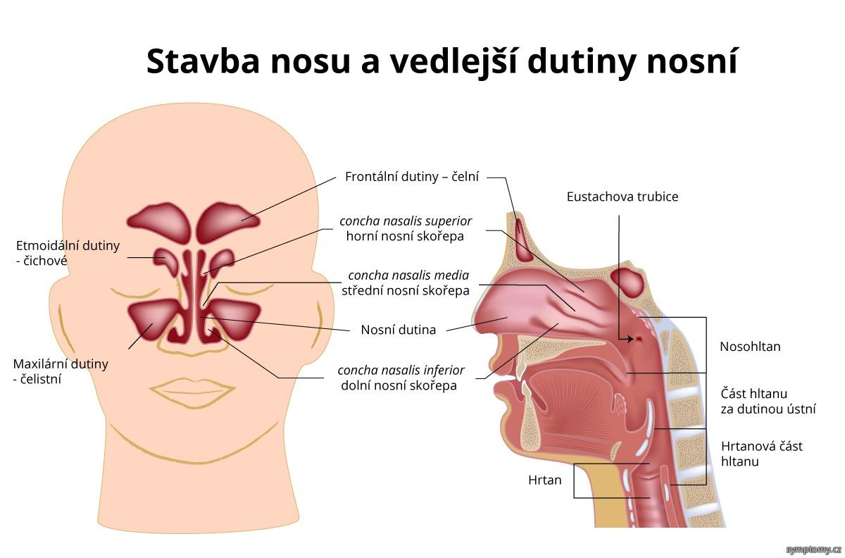 Nos a dutina nosní