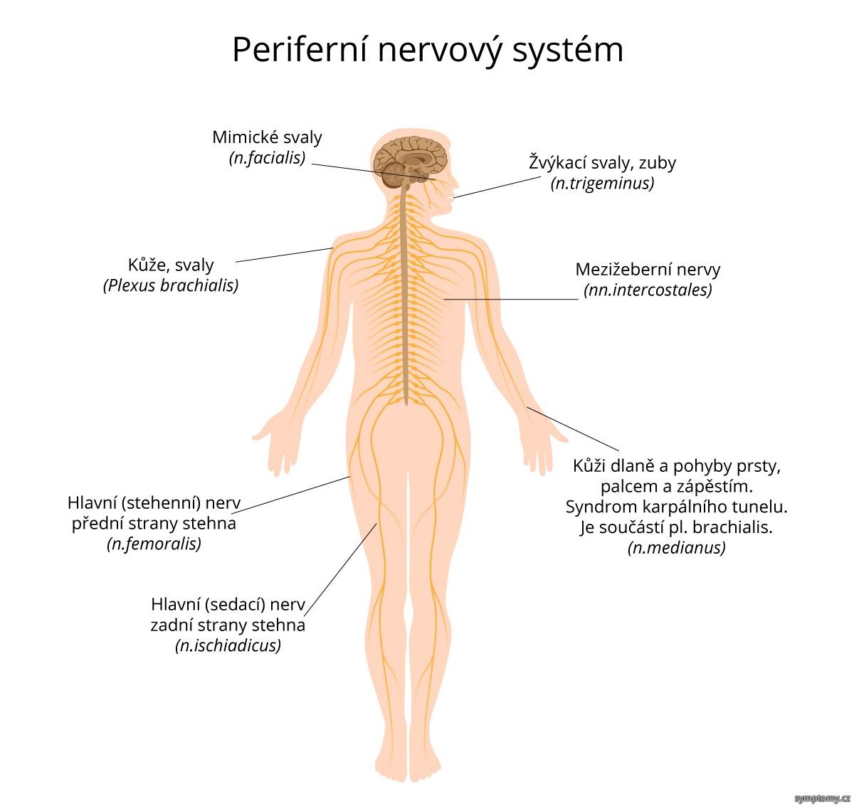 Periferní nervový systém.jpg