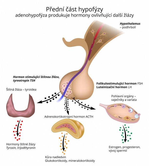 Přední část hypofýzy – adenohypofýza