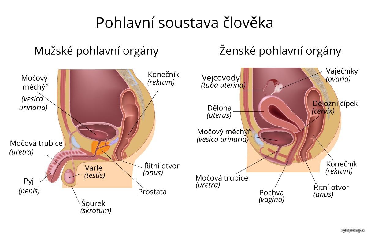 Mužské a ženské pohlavní orgány