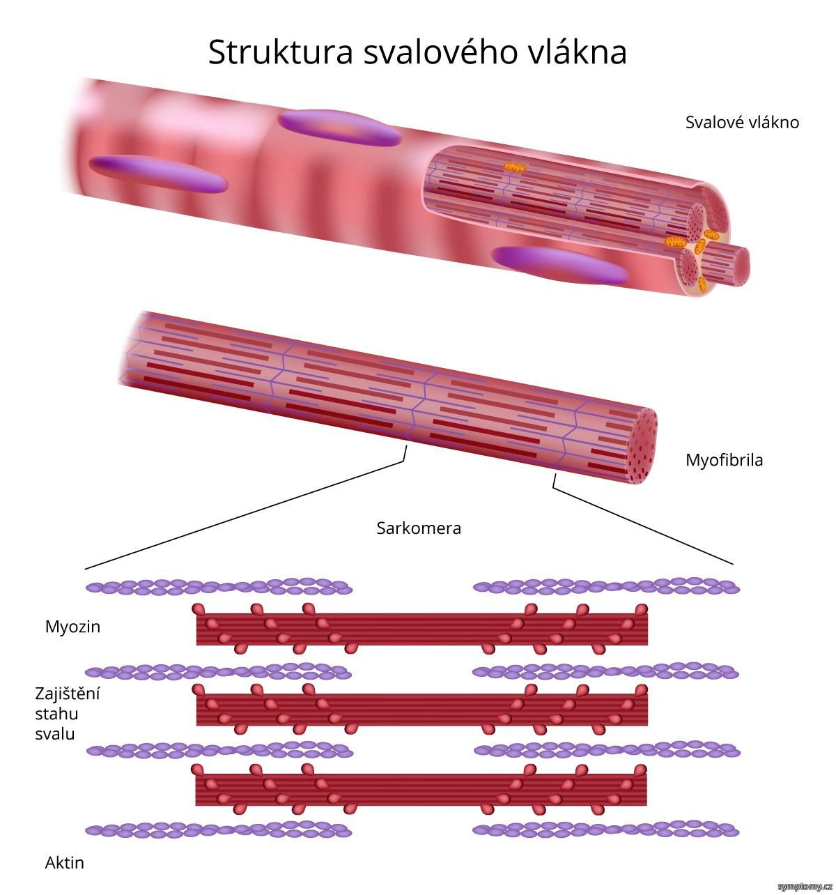 Struktura svalového vlákna