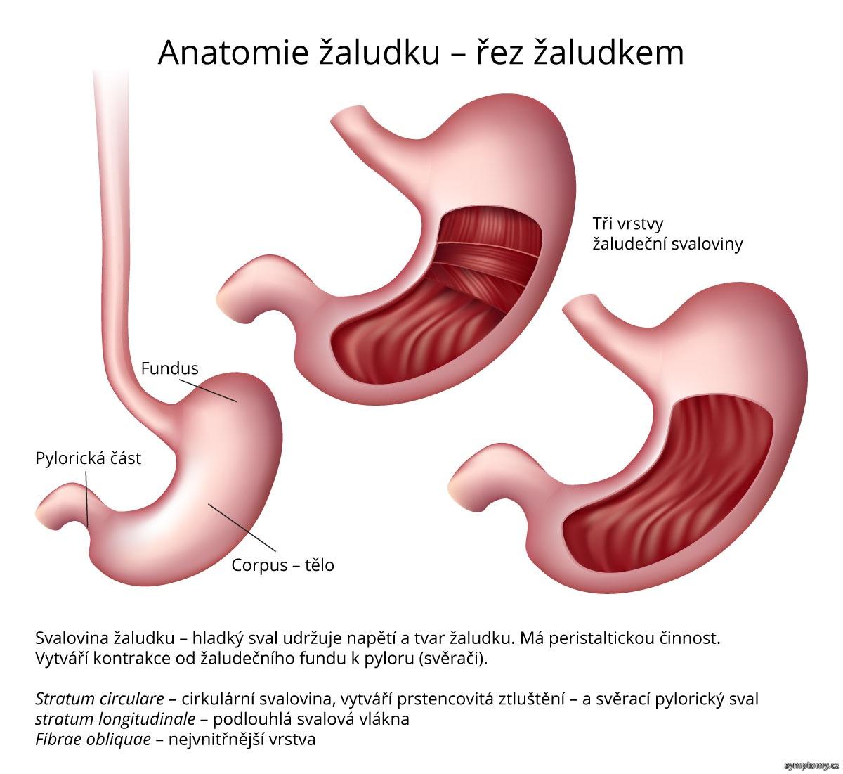 Anatomie žaludku, řez žaludkem