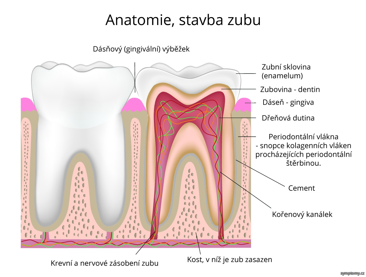 Anatomie, stavba zubu