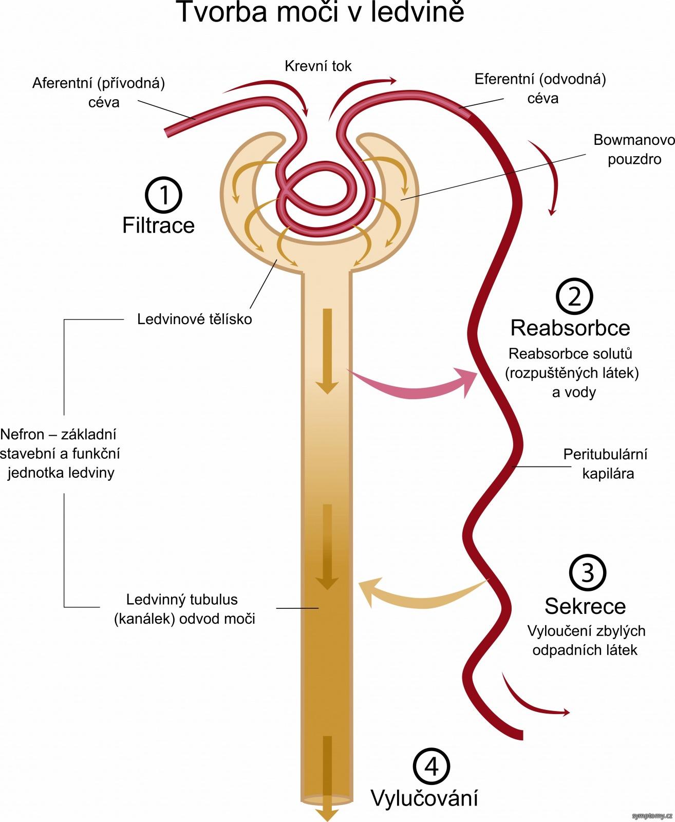Tvorba moči v ledvině