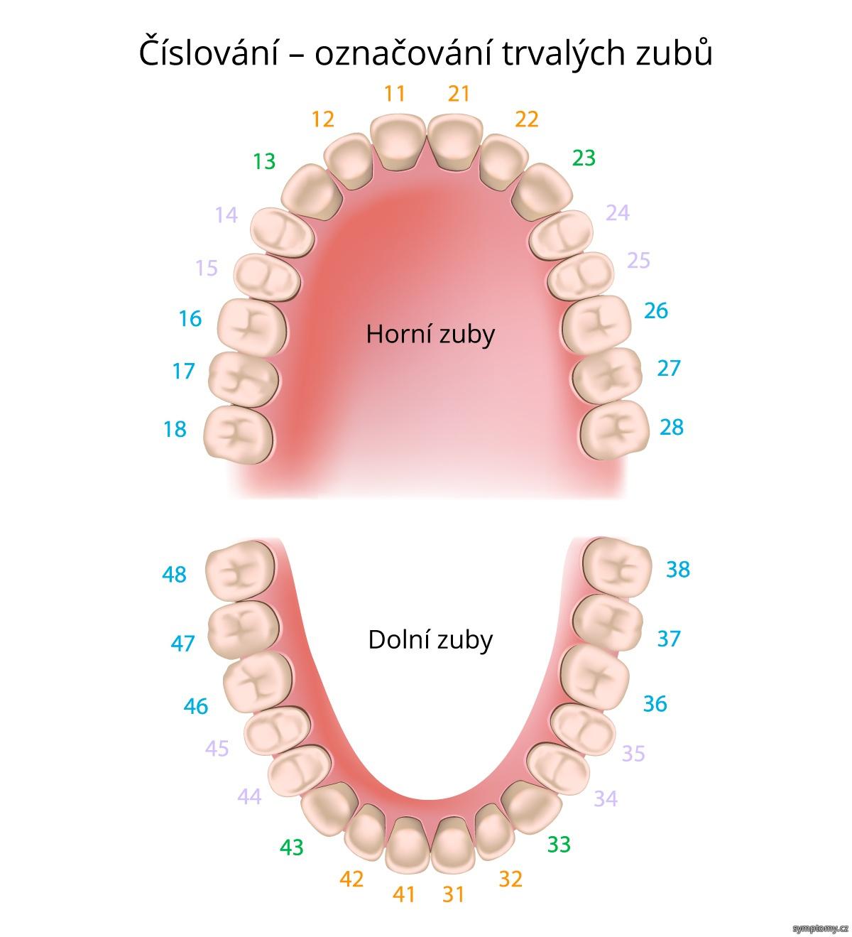 Číslování - označování trvalých zubů