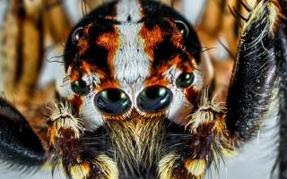 Jedovatí pavouci