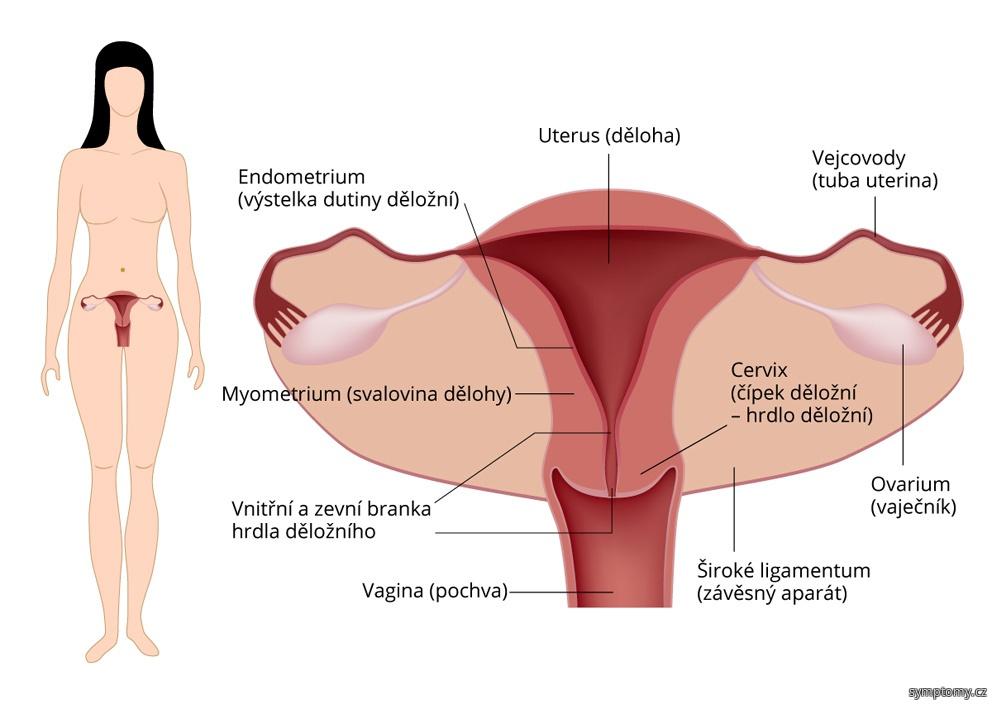 Děložní čípek