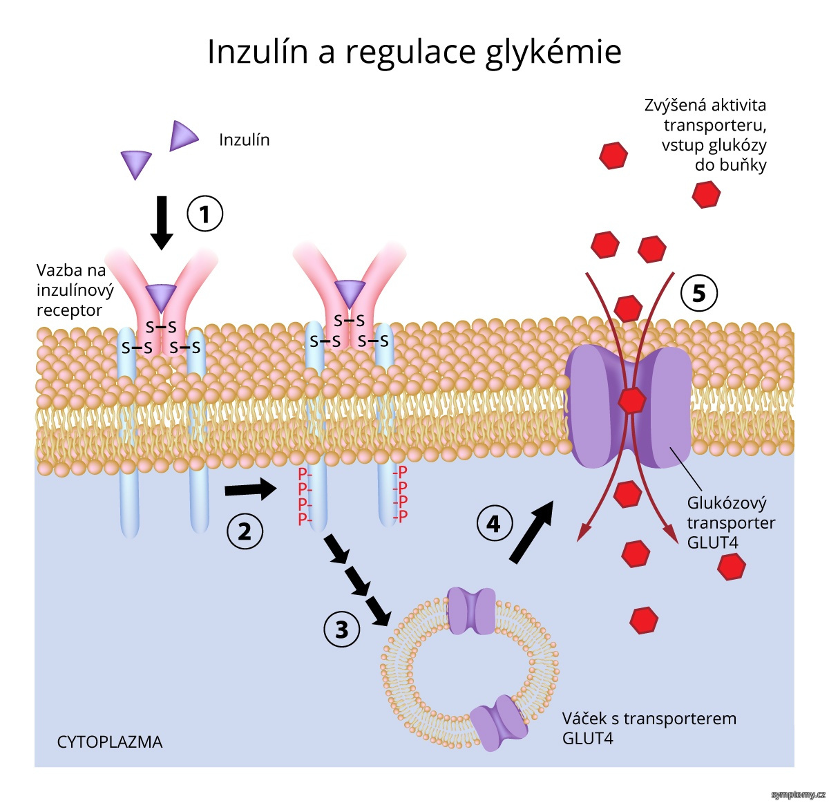Inzulín a regulace glykémie