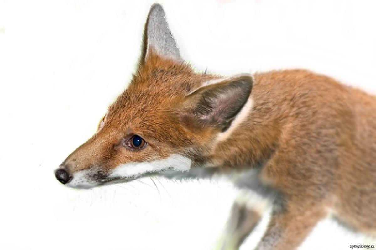 liška přenáší vzteklinu